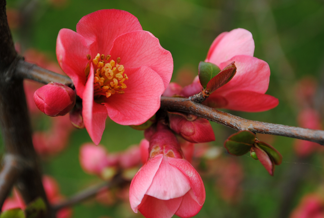 Habeo! (Chaenomeles japonica)